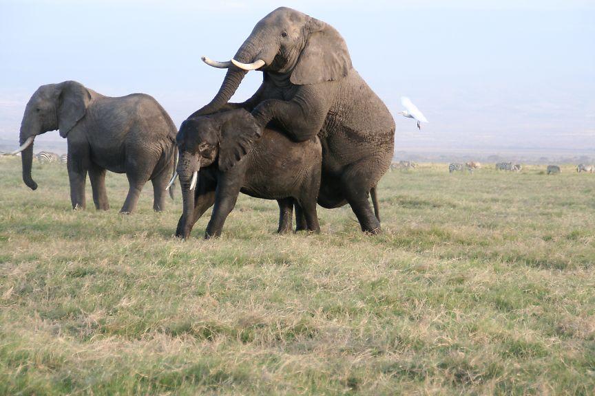 アフリカゾウの画像 p1_11
