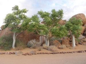 14_baobab