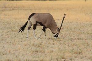9_oryx