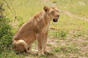 3_lion