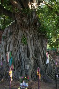 首から上を切断された仏像の上に育った樹木